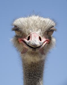 ostrich 16